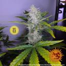 Barneys Farm Pineapple Express AUTO Seeds