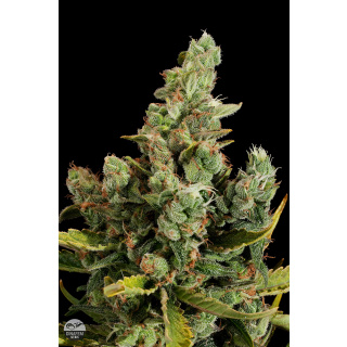 DINAFEM Cheese Seeds 3er