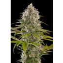 DINAFEM Industrial Plant Seeds 5er