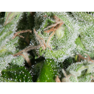 chronic_cannabis_clones