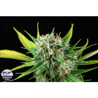 DINAFEM Royale Haze Seeds