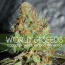 WOS Afghan Kush Special Seeds Diamond Collection