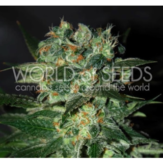 WOS Stoned Inmaculated Seeds Diamond Collection