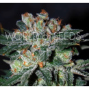 WOS Obsession Seeds Diamond Collection