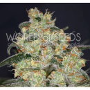 WOS Madness Seeds Diamond Collection 7er Packung feminisiert