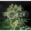 WOS Stoned Inmaculated Seeds Diamond Collection 3er...