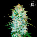 Bulk Seed Bank - Auto Amnesia Platinum