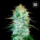 Bulk Seed Bank - Auto Amnesia Platinum 5er Packung...