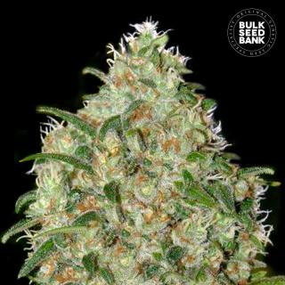 Bulk Seed Bank - Amnesia Platinum