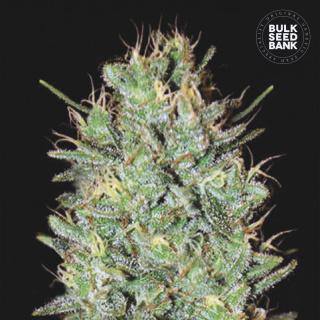 Bulk Seed Bank - Amnesia Haze
