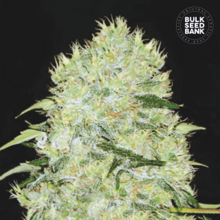 Bulk Seed Bank - Bubblegum Extra