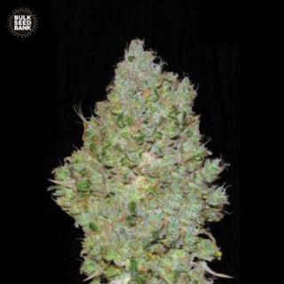 Bulk Seed Bank - Jack Hair