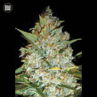 Bulk Seed Bank - Kalis Mistery