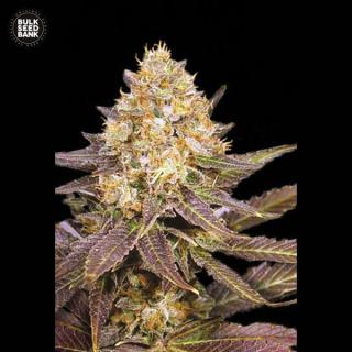 Bulk Seed Bank - Lavender Best
