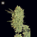 Bulk Seed Bank - Marleys Bud