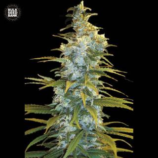 Bulk Seed Bank - Northern Light