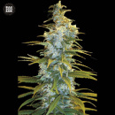 Bulk Seed Bank - Northern Light 10er Packung feminisiert