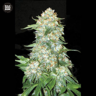 Bulk Seed Bank - OG Kush