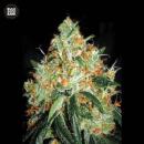Bulk Seed Bank - Original Orange Bud 5er Packung feminisiert
