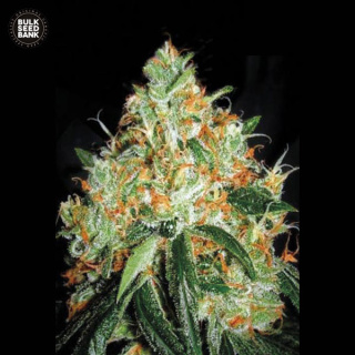 Bulk Seed Bank - Original Orange Bud 10er Packung feminisiert