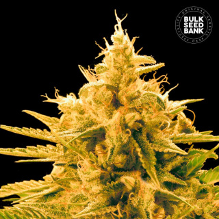 Bulk Seed Bank - Ananas Funk 5er Packung feminisiert
