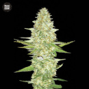 Bulk Seed Bank - Perfect Power Plant 10er Packung...