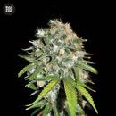 Bulk Seed Bank - Skunk #99