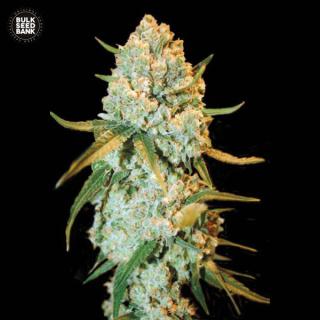 Bulk Seed Bank - Special Crystal Haze