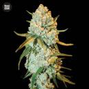 Bulk Seed Bank - Special Crystal Haze 5er Packung...