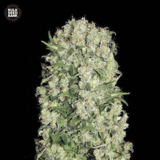 Bulk Seed Bank - White Prussian