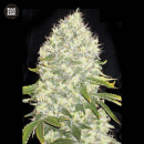 Bulk Seed Bank - White Widow 5er Packung feminisiert