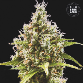 Bulk Seed Bank - Auto Amnesia Haze