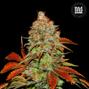Bulk Seed Bank - Auto Bubblegum Extra 10er Packung...
