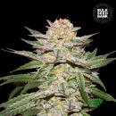 Bulk Seed Bank - Auto Caramel King 5er Packung...