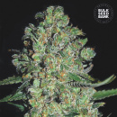 Bulk Seed Bank - Auto Chronical 10er Packung...