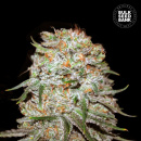 Bulk Seed Bank - Auto East Rider 5er Packung...