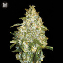 Bulk Seed Bank - Auto Good Wild Shark 10er Packung...