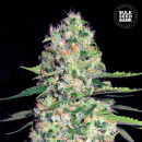 Bulk Seed Bank - Auto Jack Hair 10er Packung...