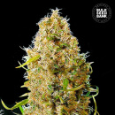 Bulk Seed Bank - Auto Kalis Mistery 10er Packung...
