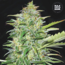 Bulk Seed Bank - Auto Lime Skunk 5er Packung...