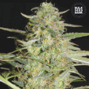 Bulk Seed Bank - Auto Loverider 10er Packung...