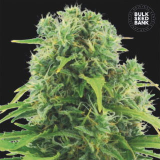 Bulk Seed Bank - Auto Northern Light 10er Packung auto-feminisiert