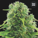 Bulk Seed Bank - Auto Northern Light 5er Packung...