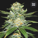 Bulk Seed Bank - Auto Perfect Power Plant 10er Packung...