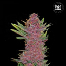 Bulk Seed Bank - Auto Purple Glam Kush 5er Packung...