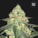 Bulk Seed Bank - Auto Sour Diesel 5er Packung...