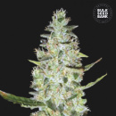Bulk Seed Bank - Auto Special Skunk 10er Packung...