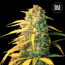 Bulk Seed Bank - Auto White Widow 10er Packung...
