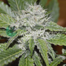 WOS Amnesia AUTO Seeds Autoflowering Collection Seeds 7...