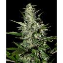 Greenhouse Super Critical AUTO Seeds 3er